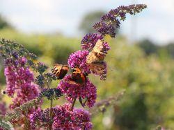 Sommerflieder Schmetterlingsstrauch Flower Power Bicolor Buddleja Davidii Flower Power In 2020 Schmetterlingsflieder Sommerflieder Schmetterlingsstrauch