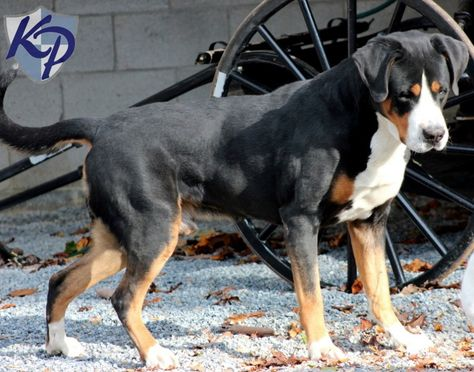 Greater Swiss Mountain Dog Puppies For Sale Entlebucher
