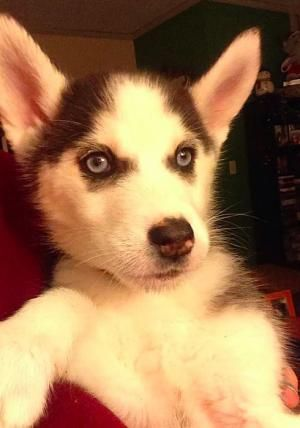 Get To Know Woof Gang Rescue Female Siberian Husky Husky Puppy