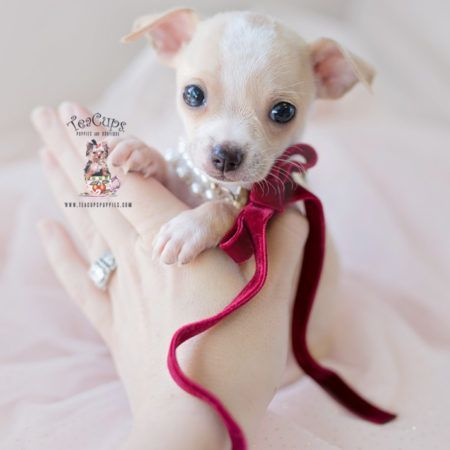 Teacup Chihuahuas And Chihuahua Puppies For Sale By Teacups Puppies Boutique Teacups Puppies Teacup Chihuahua Teacup Puppies Chihuahua Puppies For Sale