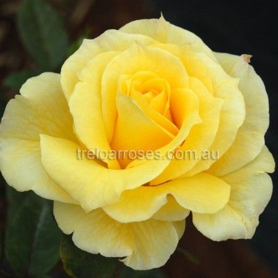 Mabella :- An attractive flower of good form on a compact healthy plant.