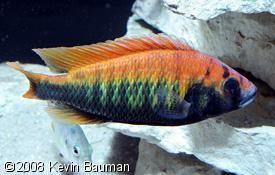 Pundamilia Nyererei Makobe Island Cichlids African Cichlids Cichlid Aquarium