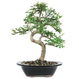 Brussel S Bonsai 8 In Chinese Elm Feature And Use Setting Shot In Clay Planter Ct9006ce Lowes Com Elm Bonsai Chinese Elm Bonsai Bonsai Tree Care