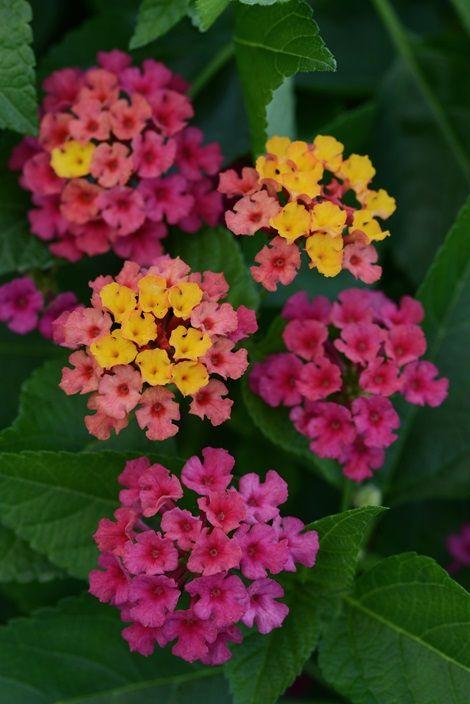 Bloomify Rose Lantana Perennials Almost Eden Lantana Flower Garden Plants Pollinator Garden