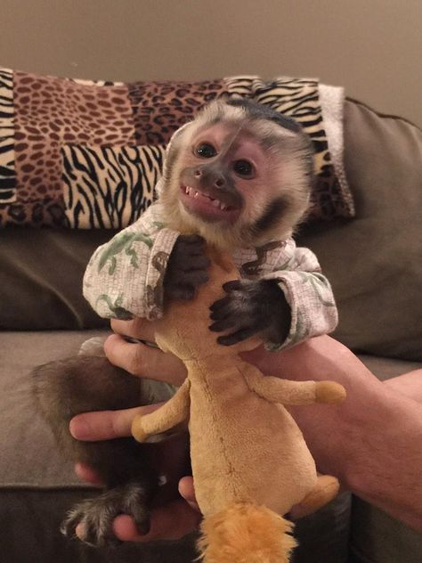 Jeff Musial on Toby our baby capuchin monkey is very happy with his Designer Lizard Hoodie! Jeff Musial on Cute Little Animals, Cute Funny Animals, Capuchin Monkey Pet, Baby Monkey Pet, Marmoset Monkey, Baby Animals Pictures, Animals Beautiful, Cute Babies, Names Baby