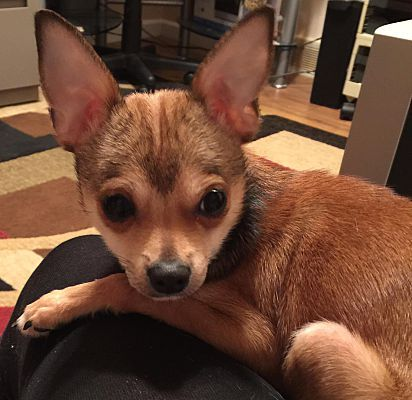 Marlton Nj Chihuahua Meet Baby Cooper A Pet For Adoption