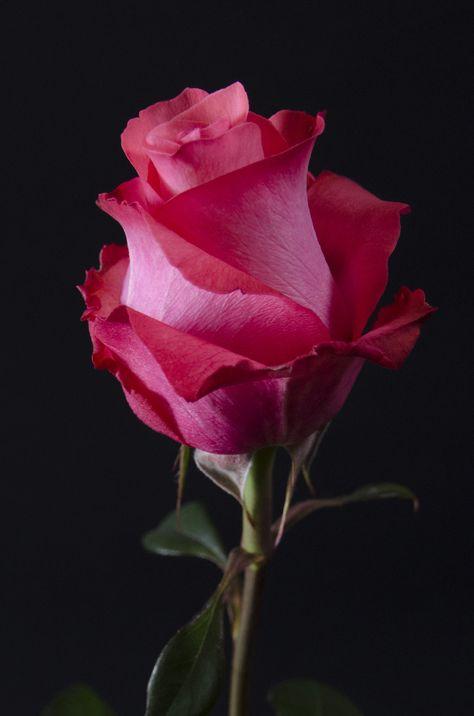 """Résultat de recherche d'images pour """"rose pinterest"""""""
