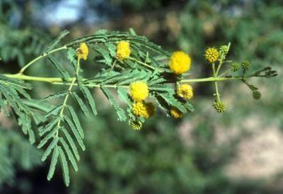 Medicinal Uses Of Acacia Nilotica L Delile Acacia Medicinal Plants Acacia Tree