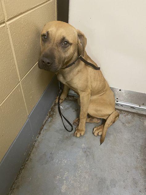 Adopt Peeker On In 2020 Dog Adoption Help Homeless Pets Labrador Retriever Mix