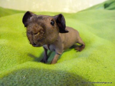 Skinny Pig The Hairless Guinea Pig Labs Skinny Pig And Animal - Ludwig the bald guinea pig is winning the internets hearts