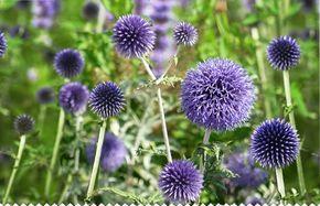 Boule Azuree Fleurs De L Ombre Chelsea Flower Show Plante