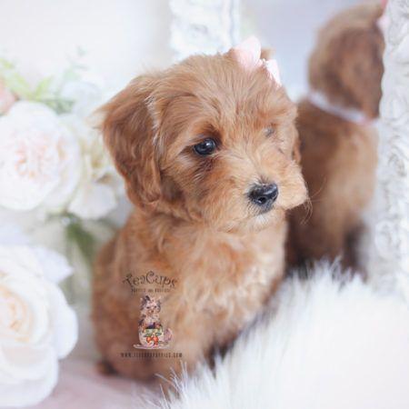 Parti Poodle Puppies Miami Fl Teacups Puppies Boutique