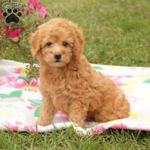 Mini Goldendoodle Puppy In Quarryville Pa Mini Goldendoodle Puppies Goldendoodle Puppy Goldendoodle