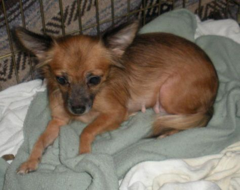 Adopt Tiki On Pregnant Dog Rescue Dogs Chihuahua Dogs