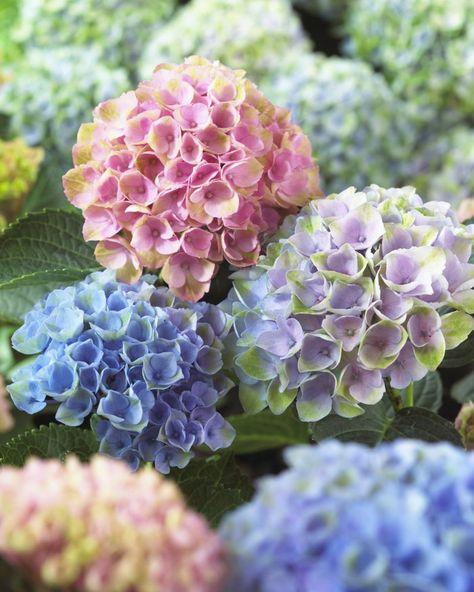 giftige pflanzen giftige blumen hortensien