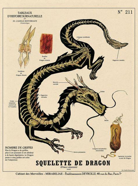 Skeleton Dragon / Dragon skeleton print - cabinet of curiosities by the artist Camille Renversade Deyrolle poster
