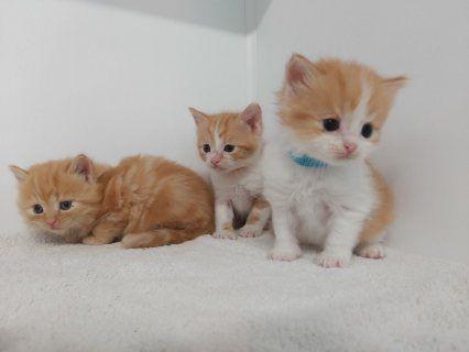 القطط البريطانية ذات الشعر الطويل الأحمر للمنازل الجديدة In 2020 Animals Cats