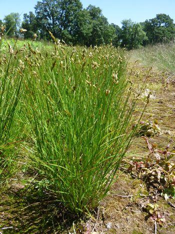 Pointed Broom Sedge Native Oregon Grass Native Plants Plants Grass