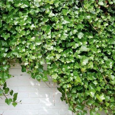 Bluszcz Pospolity Hedera Helix Doniczka C2 Plants Herbs Inspiration