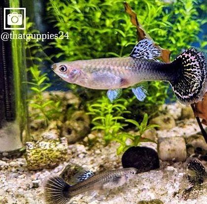 Follow Thatguppies24 For Quality Guppies Tank Tankin Guppyup Guppytrain Plantedtank Aquascaping Guppybreeder Guppy Bett Fish Pet Aquascape Fish Tank