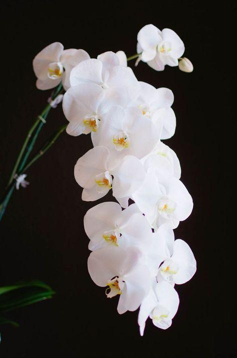 Fiori Orchidea Bianchi.Orchidea Bianca Con Immagini Fiori Orchidea Fiori