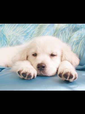 White Golden Retriever Puppies For Sale At Our Double B Goldens