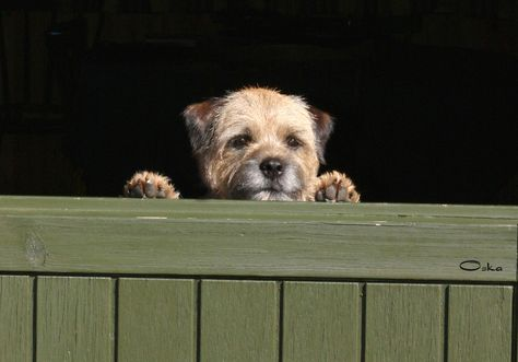 all Terrier dogs breed Info: Border Terrier Dog Breed