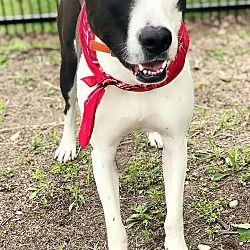 Detroit Mi Great Dane Meet Buck A Dog For Adoption Dog