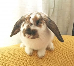 Mango Adoptable Rabbit Young Female French Lop Rhinelander Mix