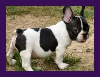 Elite Bulldogs Produced A List Of Five Must Know French Bulldog