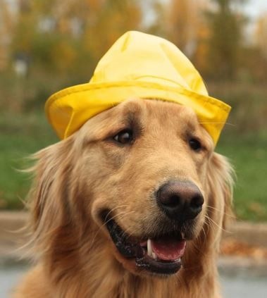 Pin By Susan West On Animals Wearing Clothes Golden Retriever