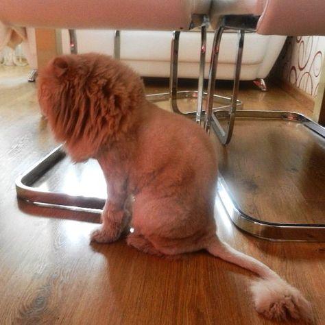 Наша бабушка Гошу в парикмахерскую сводила! Gosha has had a hair cut! Lol #cats #cathaircut #petgrooming