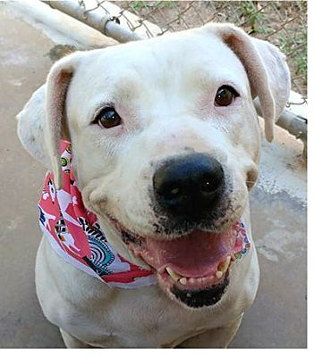 Ozark Al Dogo Argentino Meet Caroline A Pet For Adoption Pet Adoption Pets Humane Society