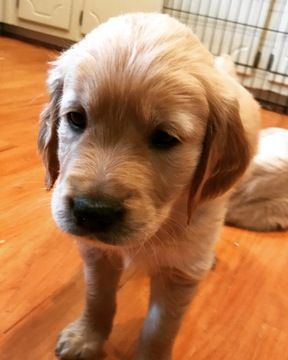 10 Enchanting Golden Retrievers Dog Ideas Puppies For Sale