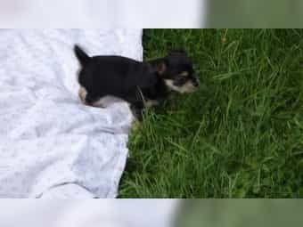 Yorkshire Terrier Chihuahua Welpen Ab Sofort Zu Haben Yorkshire