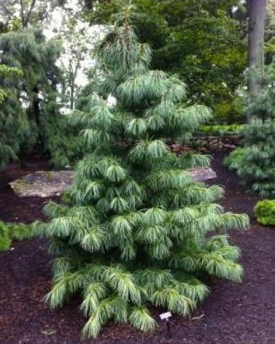 Pinus Koraiensis Oculus Draconis Singing Tree Gardens Nursery