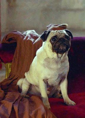 Horace The Pug Historical Drama American War Poldark