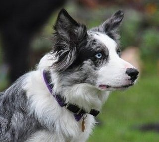 Pin By Barbara Rathmanner On Border Collie Blue Merle Border Collie Blue Merle Border Collie Puppies Collie Puppies
