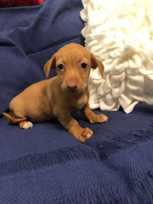 Angelica Adoptable Dog Puppy Female Dachshund Jack Russell