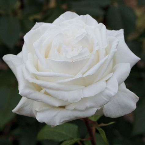Vente directe rosiers à grandes fleurs : Rosier Pierre Arditi ® Meicalanq. Ce rosier est tout simplement le meilleur rosier blanc du marché ! Ce rosier aux grandes fleurs d'un blanc pur, intensément parfumées, a déjà été primé à de nombreuses reprises.