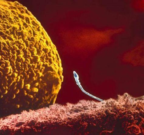 Inspiracion Creacion Admiracion Imagenes De Microscopio La Fecundacion Proceso De Embarazo
