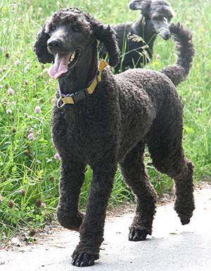 Grosspudel Vom Herzogshut Konigspudel Aus Leidenschaftlicher Osterreichische In 2020 Poodle Puppy Poodle Dog Poodle
