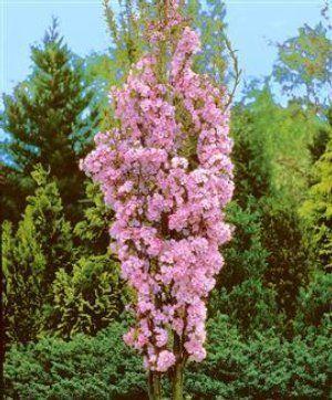 Amanogawa Cherry Tree Small Trees For Garden Flowering Cherry Tree Flowering Trees