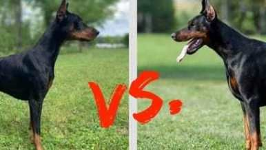 Doberman Weight Growth Curve And Average Weights Doberman Breed