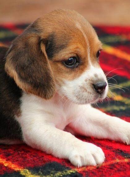 Pocket Beagle Beagle Puppy Cute Beagles Cute Dogs
