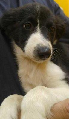 Desoto Ia Collie Meet Elizabeth A Dog For Adoption Rescue A