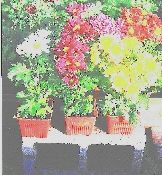 Garden Chyrsantheums, bright assortment. $16.50  POTTED OR GARDEN MUMS CAN ALWAYS BE USED TO CREATE THEMES, OR TO BRING A SPLASH OF COLOR INTO THE AREA. BEING PERENNIALS THEY BLOOM SPRING AND FALL.YEAR AFTER YEAR. YOU CAN DEPEND ON THEM. I GROW A BROAD VARIETY OF THESE . read more http://www.goodkarmaco.com/product.sc;jsessionid=24FF30CBD99D1D5E4EAD911262DE0421.qscstrfrnt04?productId=23=1