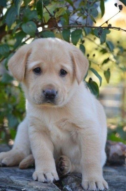 Cuban Link Dog Chain Custom Dog Chain Handmade Dog Collar Etsy In 2021 Yellow Lab Puppy Cute Dogs Puppies