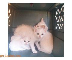 Buscan Hogar Gatitos En Adopción Gatos Gatitos Bebes En Adopcion
