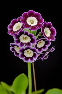 Primula auricula Flowers. I love primula's, they always look so bright & happy in the winter weather Nic xxx